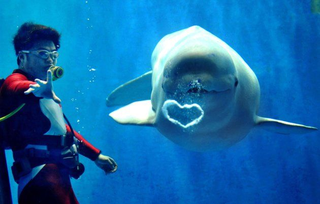 """""""A white Beluga whale blows a beautiful heart-shaped bubble to visitors at Harbin Polarland in Harbin, China.""""...""""For you see, each day I love you more. Today more than yesterday and less than tomorrow."""" — Rosemonde Gerard...Happy Valentine's Day! (pic from Caters News)"""