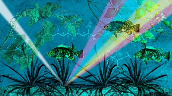 La biotecnología de las microalgas consta de dos fases: producción controlada de la biomasa algal y aprovechamiento de ésta en compuestos naturales secundarios de utilidad alimenticia y médica.