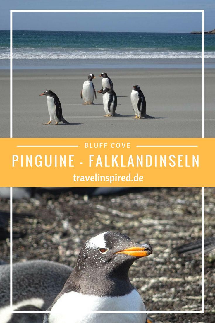 Ein wunderschöner Ort zum Pinguine beobachten auf den Falklandinseln ist die Bluff Cove Lagoon; mehr Fotos und Infos im Reisebericht auf Travelinspired #pinguine #eselspinguine #königspinguine #falklandinseln #reisebericht #stanley #travelinspired #reiseinspiration #tierbeobachtungen #bluffcove