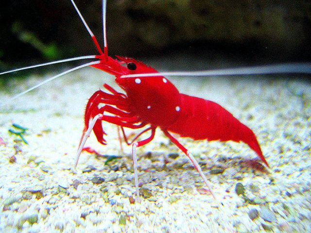 Fire Shrimp Maximum Size Is Roughly 2 Requires A Minimum Of 20 Gallons Of Tank Space This S Saltwater Aquarium Saltwater Aquarium Fish Saltwater Fish Tanks