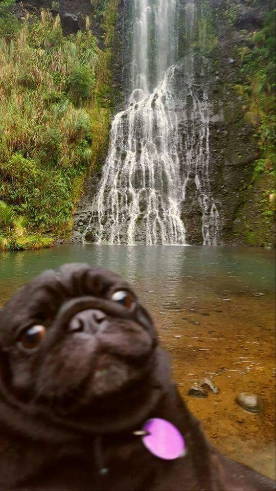 Pug in paradise. This pug is skeptical about paradise. #Pug