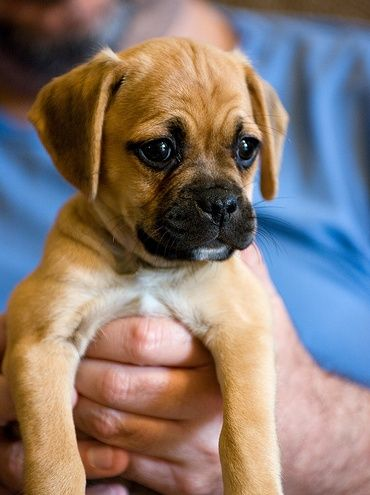 Puggle (Pug-Beagle). I may never have another type of dog. They are one of the cutest, sweetest, smartest, most athletic, snuggle-lovin dogs I have ever had. Kramer is the best! - Visit our website now!