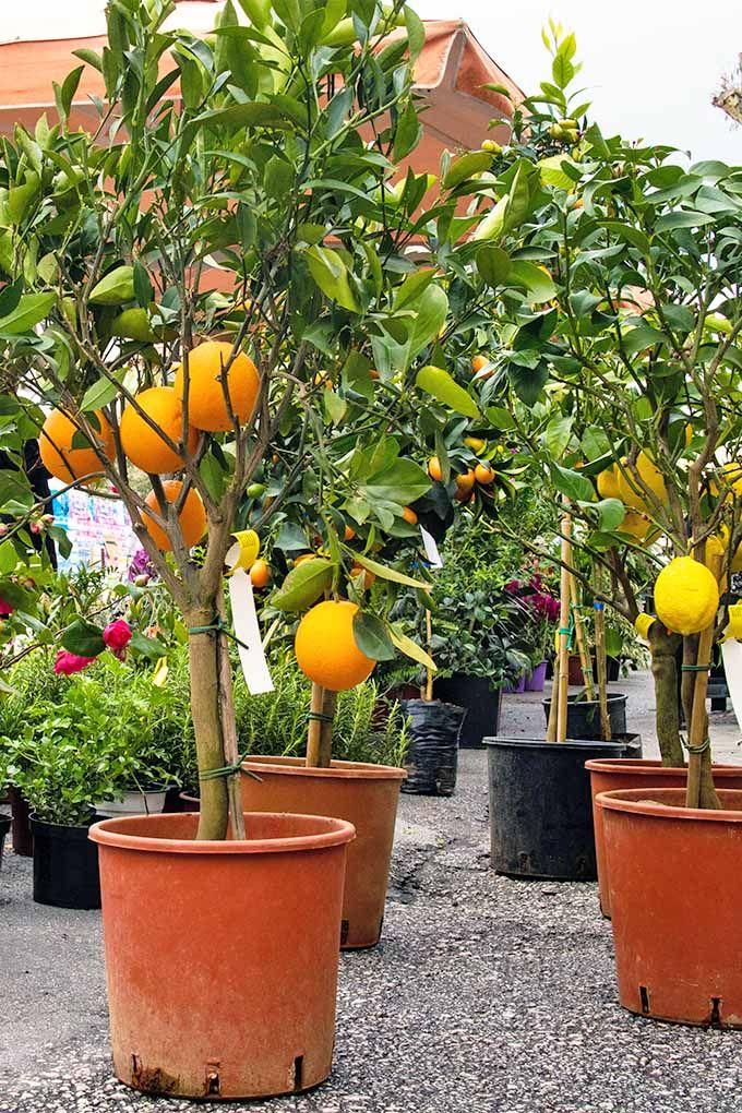 How To Grow Dwarf Citrus Trees Gardener S Path Potted Fruit Trees Citrus Trees Lemon Tree Potted