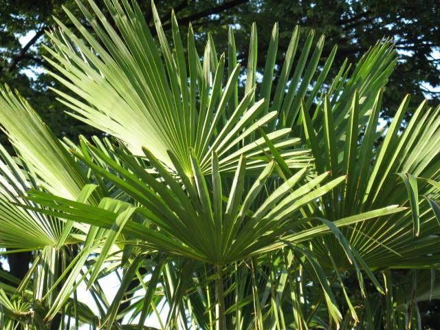 8月29日の誕生日の木は「シュロ(棕櫚)」シュロとはヤシ科シュロ属の総称です。主にワシュロの事を指します。中国南部から日本に分布し、日本では主に九州南部を原産地とします。常緑の高木で、樹高は5mほど、時には10m近くになるものもあります。シュロの和名は漢名の棕櫚を日本読みしたことに由来します。シュロは枝を横に張らず、成長もゆっくりとし、手がかからないため、庭園樹として利用されてきました。また、幹の周りに生えるシュロ皮と呼ばれ繊維質の皮は、明治から昭和にかけ生活の中で色々と利用されてきました。油分を含むシュロの繊維は、耐水性が高く腐りにくく、また伸縮性に富むため、シュロ縄や敷物、たわしやホウキなどに加工されてきました。シュロの丸太は、お寺の梵鐘をつくための撞木(しゅもく)として古くから使われてきました。撞木が硬すぎると、つかれた時に発せられる音が固く甲高くなり、あまり心地良い音にはなりません。シュロは幹の中心部まで繊維が詰まっているので、材質が柔らかです。柔らかいシュロの撞木でつかれた鐘の音は、柔らかく奥行きのある穏やかな音となります。