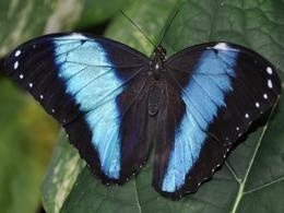 Free Blue Morpho Butterfly Pictures