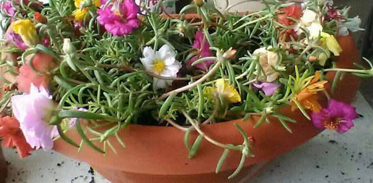 Don Diego plant