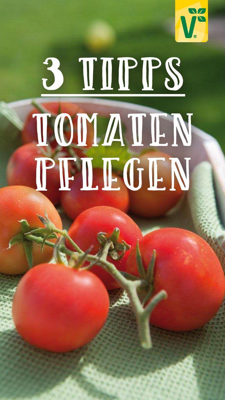 Tomaten Pflegen 3 Tipps Fur Eine Reiche Ernte Plant Happy In 2020 Tomaten Pflanzen Gartentipps Salat Pflanzen