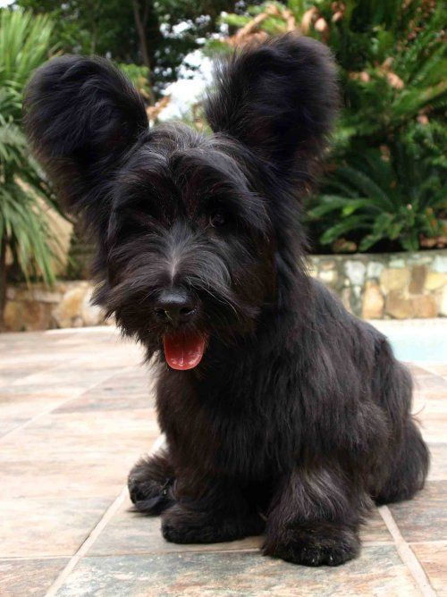 Skye Terrier dog art portraits, photographs, information and just plain fun. .