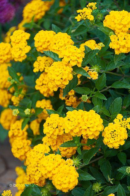 A sétányrózsa igazán vidám és mutatós évelő növény, de a mi éghajlatunkon teleltetni kell.