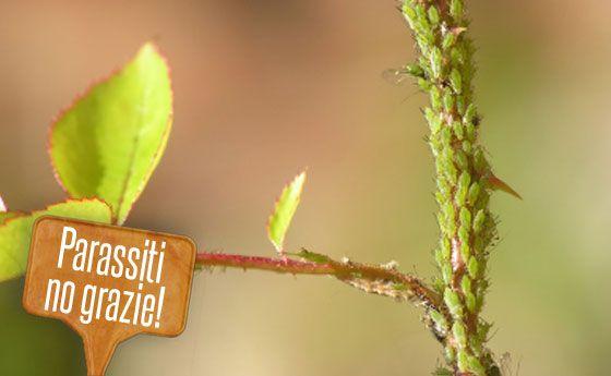 Parassiti delle rose: i rimedi naturali per annientarli e avere fiori splendidi!   Giardinieri in affitto