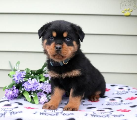Pin By Tana Pineiro On Cute Puppies Rottweiler Puppies