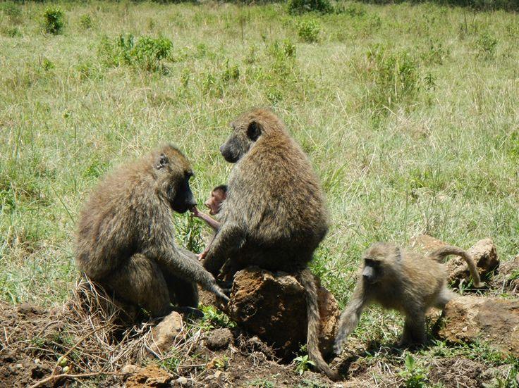 Baboon family in Kenya