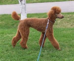 of shorter cuts? - Page 3 - Poodle Forum - Standard Poodle, Toy Poodle ...