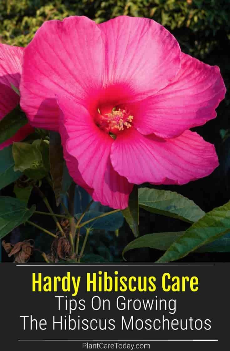 Hardy Hibiscus Care Growing Tips For Hibiscus Moscheutos Hardy Hibiscus Hardy Hibiscus Care Hibiscus Plant