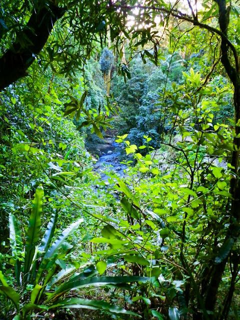 The incredible #Rainforest at #Queensland's Natural Bridge, Springbrook National Park