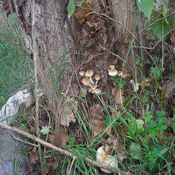 Esclata Sang and mushroom picking in Mallorca
