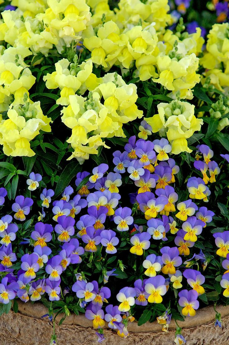 Rebelina blue and yellow viola partners with floral showers yellow snapdragon top