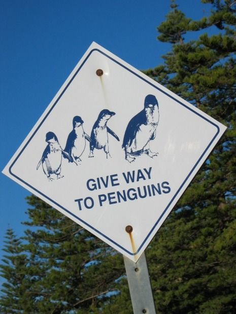 Victor Harbor Granite Island penguins. Penguins definitely have the right of way on Granite Island in Victor Harbor on South Australia's Fleurieu Peninsula, where you'll see these cute Little Penguins (that's their official name) all over the place, especially at dusk, when they march home from their day fishing at sea.