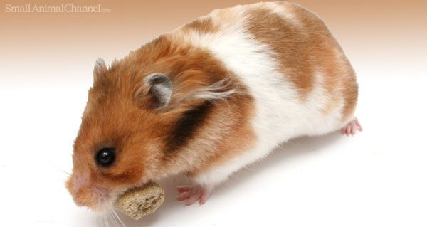 What To Feed a Hampster - Variety can be the added zest to life when feeding your pet hamster.
