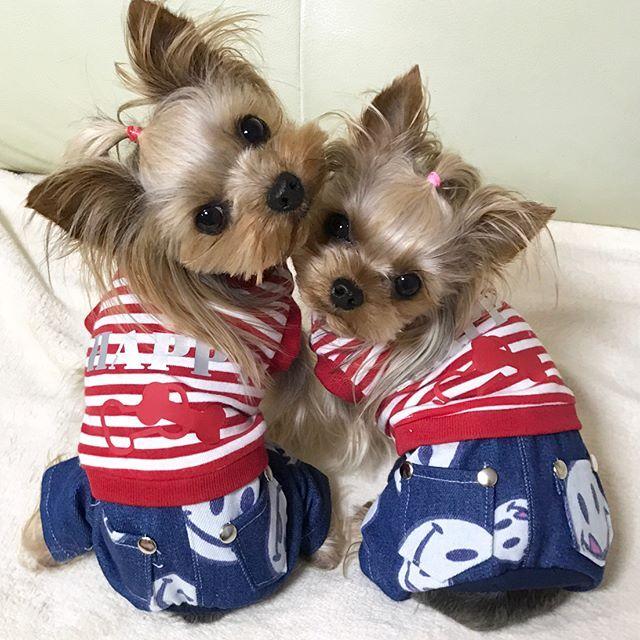 こんにちは😃 晴れてますが風が強いです🌬. 今日から新作を何枚かアップさせていただきます👚. ✴︎. 赤白ボーダーとスマイルデニムのつなぎとワンピを作りました。スマイルデニムがとっても可愛いですよ💕. ✴︎. 本日出品予定です。 ✴︎. #いちごみるく#ヨーキー#ヨークシャテリア#YorkshireTerrier#yorkie#yorkielove#today#handmade #手作り#犬服#犬の洋服#洋服#愛犬#dog#犬#ヨーキー大好き#多頭飼い#ワンコ大好き#春の洋服#ワンピ#出品#ヤフオク#つなぎ