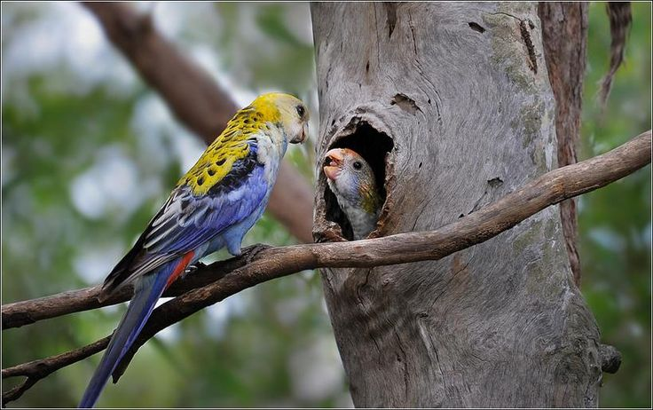 A Pale-headed Rosella and its chick in a tree hollow nest.