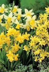Narcissus Fragrant Species Mixed.
