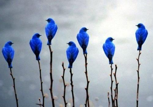 7 bluebirds in a moment of zen. So lovely. What a perfect picture. <3 ~ETS