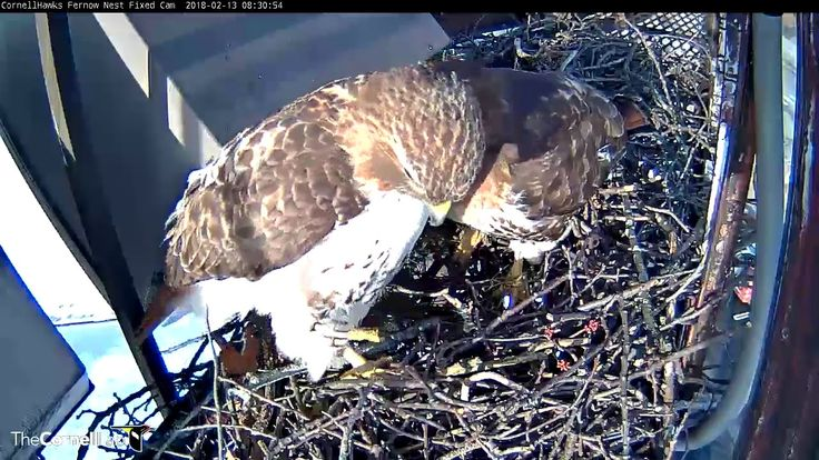 """Male Hawk Stares At Camera During """"Nestorations"""" – Feb. 13, 2018 - YouTube"""