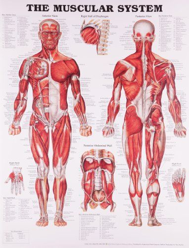 17 best ideas about skeletal and muscular system on pinterest, Muscles