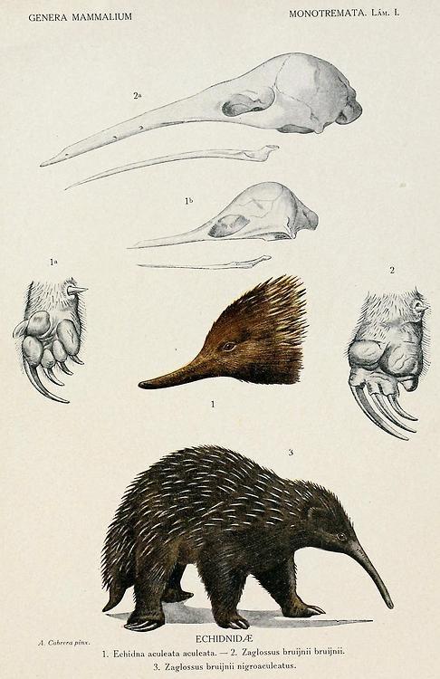 Echidnas, Genera Mammalium: Monotremata - Marsupalia. Angel Cabrera, Museo Nacional de Ciencias Naturales, 1919.
