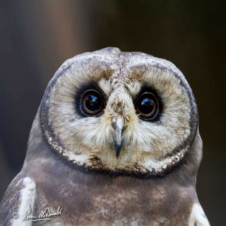 African Marsh Owl (Asio capensis)