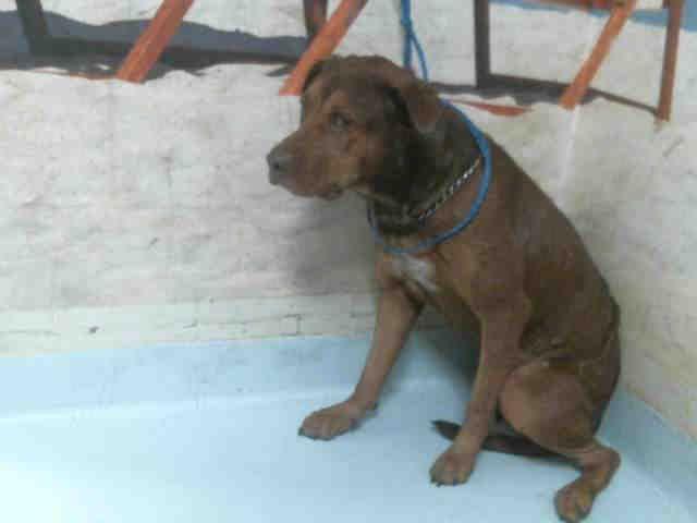 Rottweiler-American Pit Bull Terrier dog for Adoption in Pasadena, TX. ADN-381722 on PuppyFinder.com Gender: Male. Age: Adult