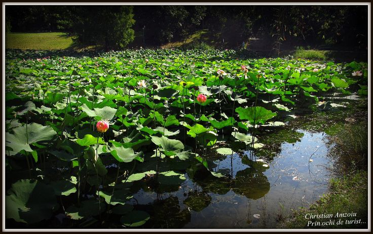 Povesti din Bucuresti – Floarea de Lotus / Stories of Bucharest – The Lotus flower | Calatorind prin tara,
