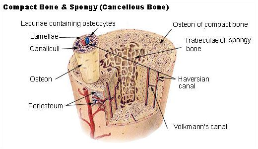 Compact and cancellous bone. I love how this diagram includes the Volkmann's canal, the Haversian canal, the canaliculi and the priosteum. Good way to study.