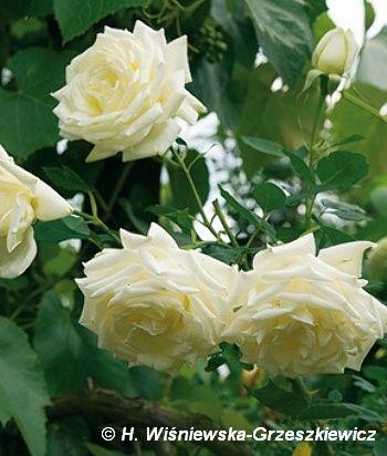 Róża wielkokwiatowa 'Pascali' ('Blanche Pasca') Rosa 'Pascali' ('Blanche Pasca')  Kwiaty są białe z nalotem kremowym, osadzone po kilka n...