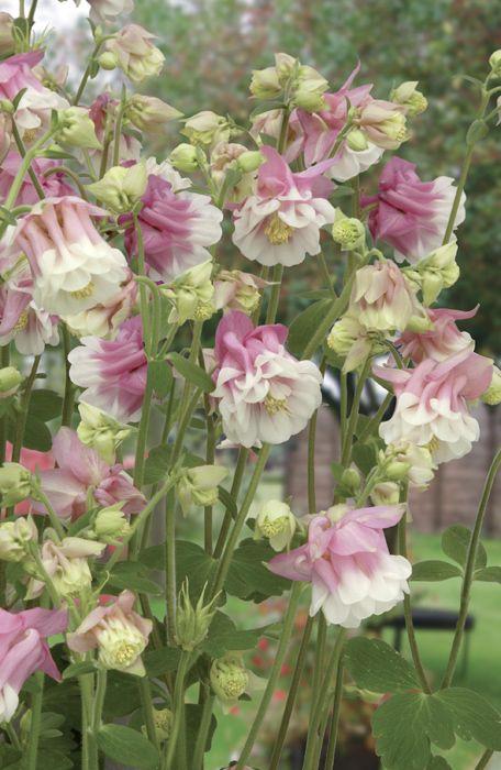 Akleja 'Petticoat Pink': (Aquilegia vulgaris) Nyhet 2013 Halvdubbla, tyllika blommor i ljuvliga färger, passar perfekt i den gammaldags torparrabatten. Kompakt och dekorativt bladverk. Förodla feb-mar eller så direkt på växtplatsen. Blommar jun-jul. Flerårig. Höjd ca 60 cm. 50 frön. (Ordinarie pris 37 kr)