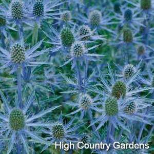 high country gardens --big blue sea holly