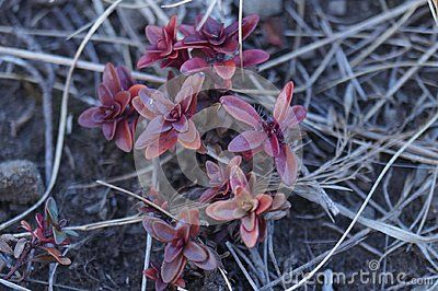 Red-leaved plant in the Bucegi Mountains, Romania