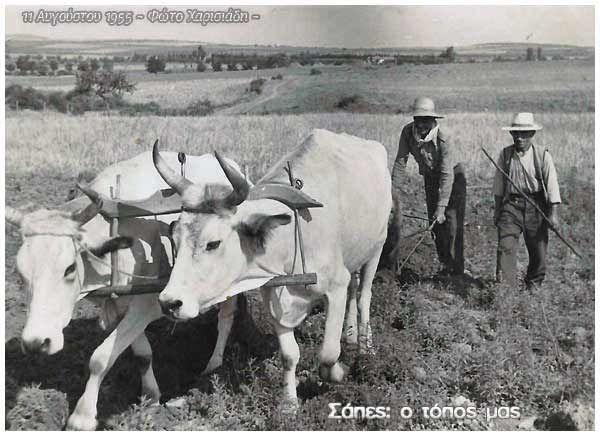 Σάπες 11 Αυγούστου 1955: Μια από τις πιο χαρακτηριστικές φωτογραφίες της συλλογής μου. Βρισκόμαστε στα 1955. Ακόμη το όργωμα των χωραφιών γίνεται με τα ζώα και τα άροτρα. Ένα ζευγάρι από βόδια σέρνουν το άροτρο, το οποίο κρατάει ο γεωργός και ταυτόχρονα το πιέζει βαθειά στη σκληρή και στεγνή γη (βλέπετε είναι ακόμη Αυγουστος). Ο άνθρωπος διπλά, κρατάει ένα μακρύ ξύλο για να κεντρίζει τα ζώα και να τα καθοδηγεί προς τα εκεί που επιθυμούν.Με αυτόν τον τρόπο γινόταν το όργωμα.