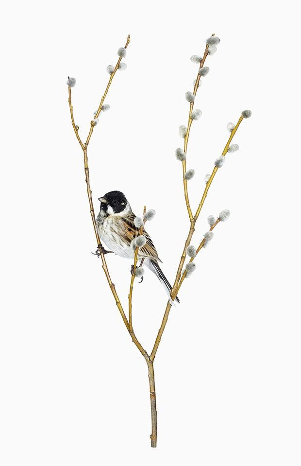 """VL590595 MUS.Z.HKI.FI, 2015 Carduelis flammea, 2015 Local Vernacular is a project to which Finnish photographer Sanna Kannistohas devoted herself for the past two years. The project title refers to the unique bird song or """"language"""" of different groups of migratory birds, each of which is territory-specific. Sanna works together with scientists who perform bird ringing …"""