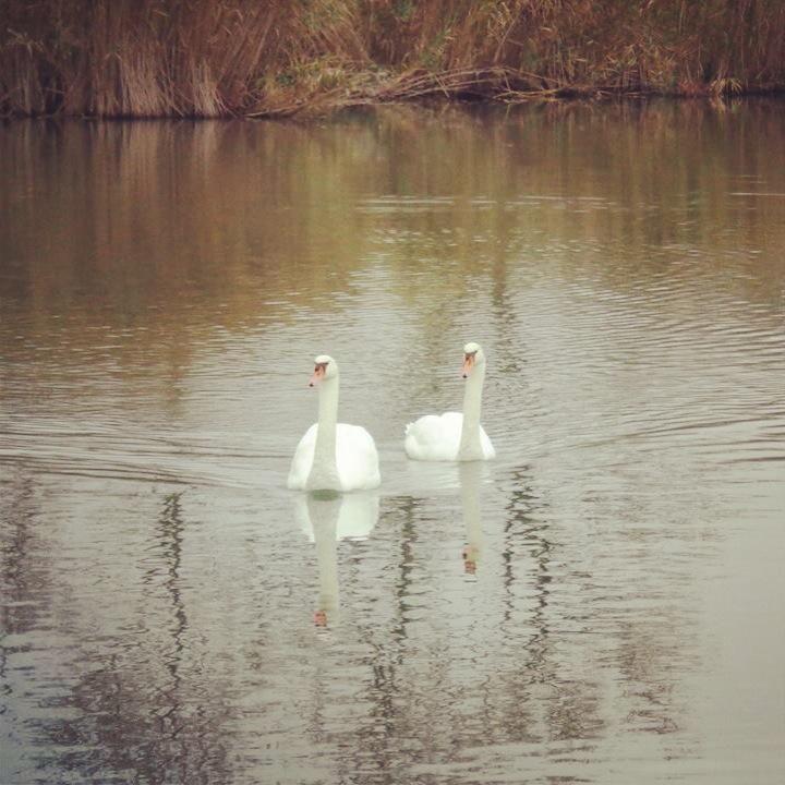 Egy kis romantika a Csónakázó-tó partján. #swan #lake #bird #nature Sárvár
