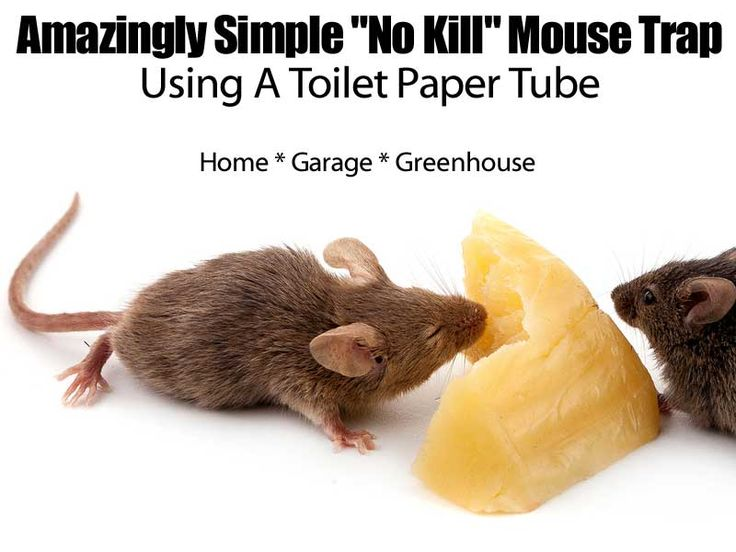 14 best mouse trap images on pinterest mouse traps mice and a mouse amazingly simple no kill mouse trap using a toilet ccuart Image collections