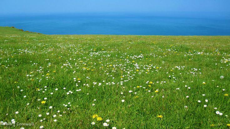 Wildflowers on the Beeny cliff near Boscastle