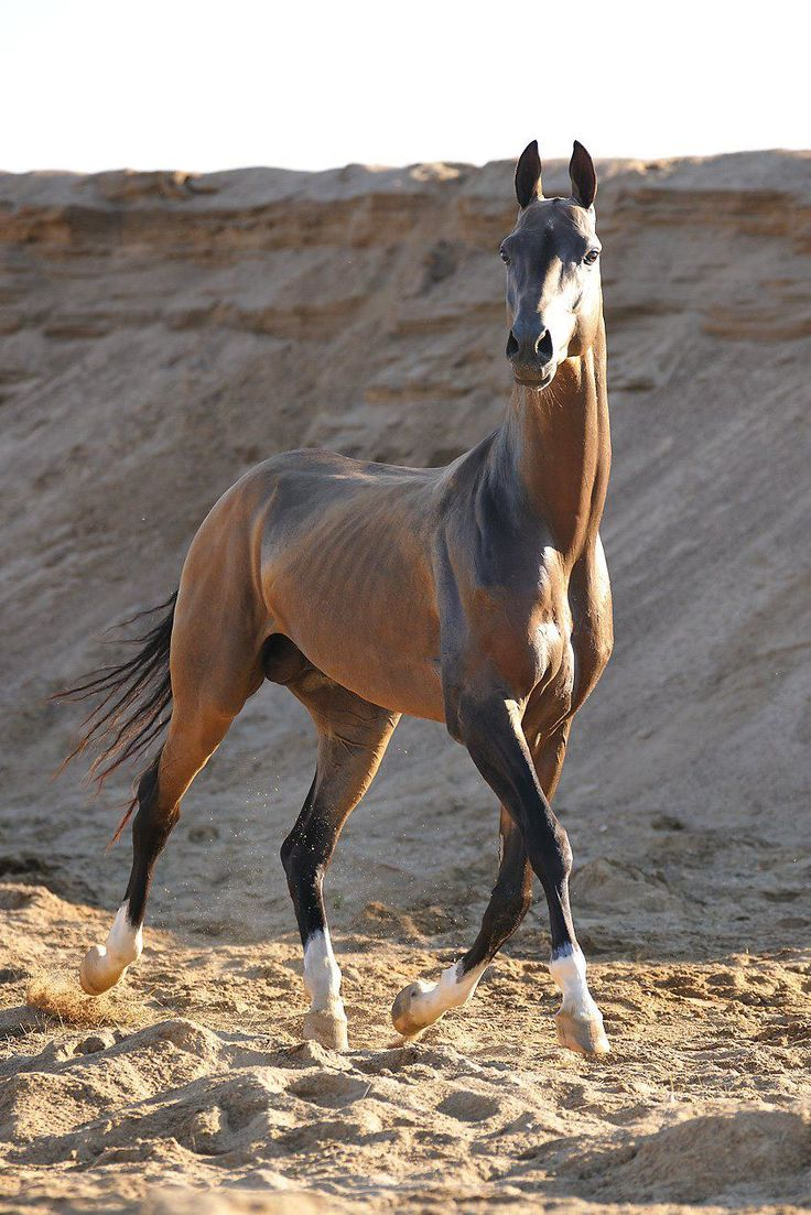 The Akhal-Teke is a horse breed first found in Turkmenistan. Their main feature is the distinct coat that gleams and this is also what distinguishes them from the other horse breeds.