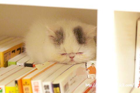 エキゾチックショートヘアのネコ写真