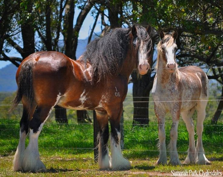 Clydesdale's. Sire and his filly.