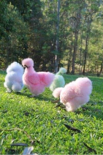 cotton candy silkie chicken