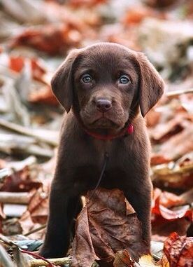 Chocolate Lab puppy ==> visit http://www.amazingdogtales.com/gifts-for-labrador-retriever-lovers/ for cool labbie merchandise