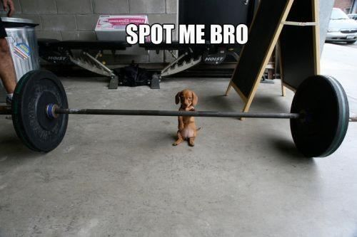 : Puppies, Dreams Big, Weenie Dogs, Funny Stuff, Weiner Dogs, Wiener Dogs, Big Dogs, Lifting Weights, Animal