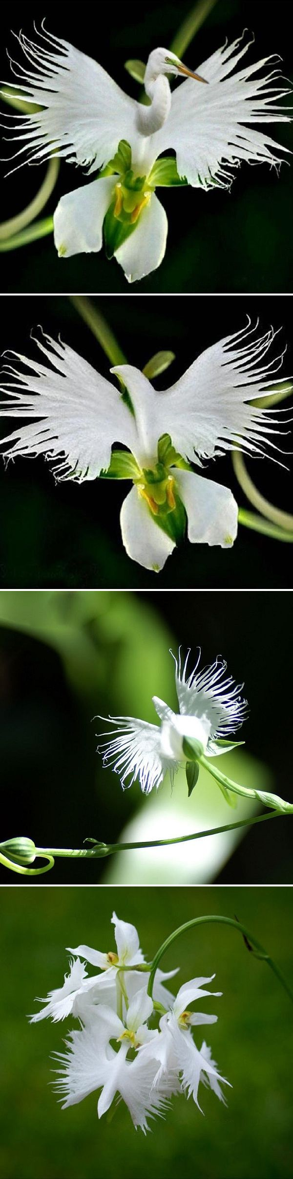US$2.69  200pcs Japanese Egret Flowers Seeds White Egret Orchid Seeds Radiata Rare White Orchid Home Garden